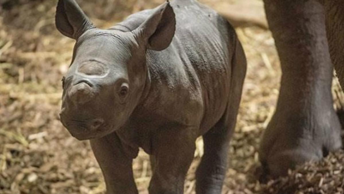 El bebé milagro: nace un rinoceronte negro en un zoo británico