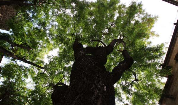 EL PERIODICO recorre la trajectòria dels arboris històrics de la ciutat
