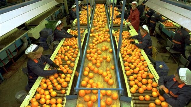 Cadena de selección de naranjas y mandarinas de Agrofruit en Tortosa.