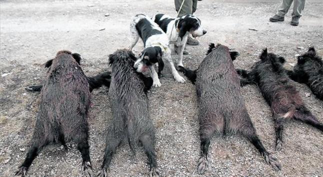 Dos perros olisquean los cuerpos sin vida de varios jabalís tras una jornada de caza en el Alt Empordà.