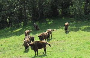 Bisontes europeos en la reserva de San Cebrián de Mudá, en la montaña palentina. Actualmente tiene 12 ejemplares.