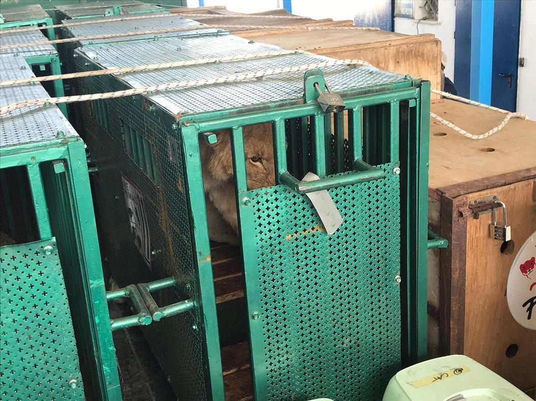 Los animales delzoo de la ciudad de Rafahdurante su traslado a Jordania. EFE