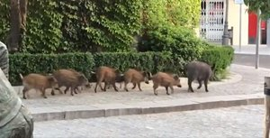 Una piara de jabalís se pasea por el centro de Torrelodones.