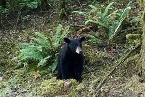 Un oso es sacrificado por exceso de cercanía a las personas que se hacían selfies y le tiraban comida