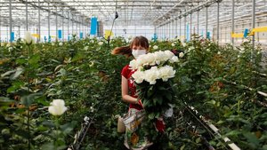 Una empleada lleva rosas en un invernadero de la ciudad rusa de Svetlitsy.
