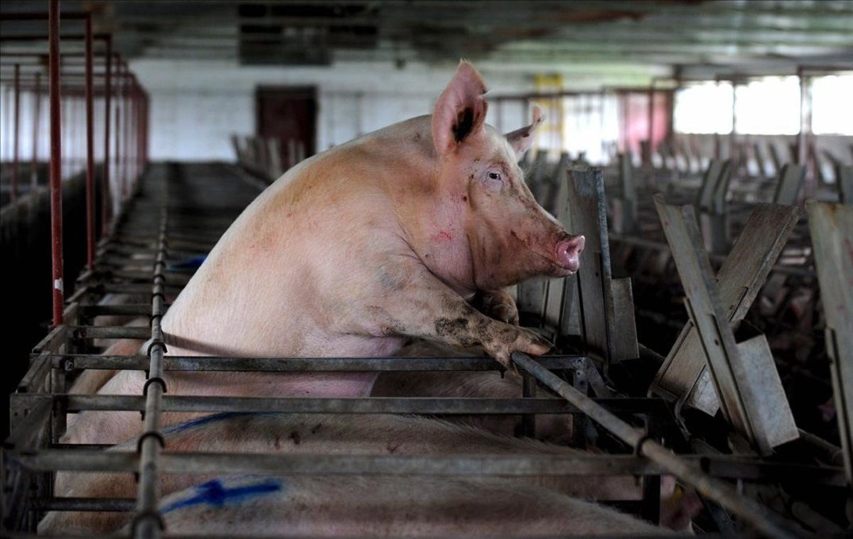 Un cerdo se asomaentre los barrotes de su jaula, en una imagen de archivo