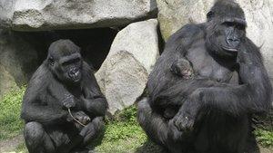 Una gorila, con su cría, en el Zoo de Barcelona, tras parir en el 2015.