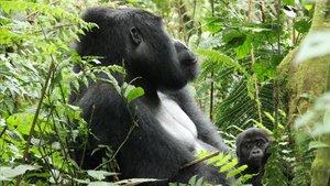 La Covid-19 activa la caça il·legal de goril·les
