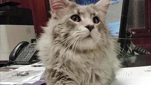El gato Melenas.
