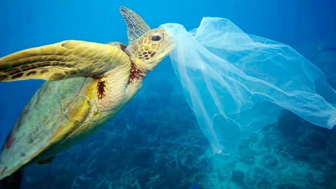 Tortuga en el mar con un plástico en su cabeza.