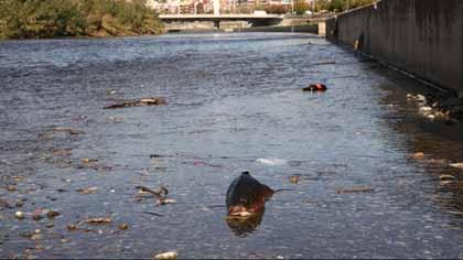 Peces muertos en el río Besòs, a la altura de Santa Coloma de Gramenet.