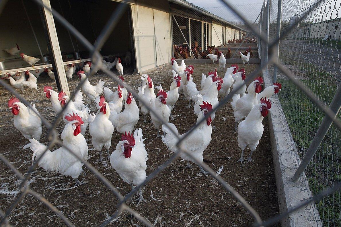 En 2018, el total de granjas avícolas afectadas por la gripe aviar ascendió a 93 en toda la isla.