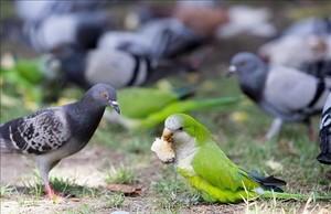 Una cotorra frente a un grupo de palomas en el Parc de la Ciutadella