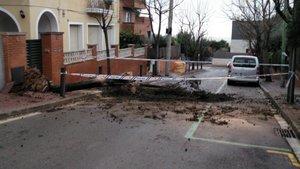 Árbol caído en Esplugues de Llobregat durante el temporal 'Gloria'.