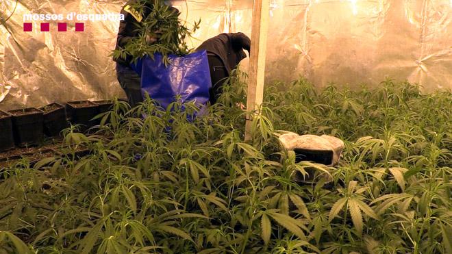 Desarticulada una banda criminal dedicada al cultivo ilegal de marihuana en Catalunya.