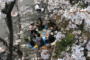 Un grup de dones dinen sota els cirerers d'un parc de Kyoto (Japó).