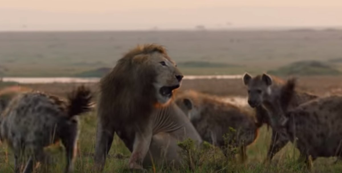 El angustioso vídeo del ataque de hienas a un león, que salva su vida gracias a otro felino