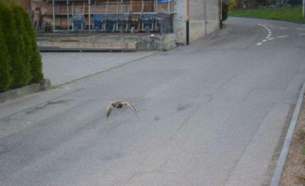 El pato que superó el límite de velocidad.