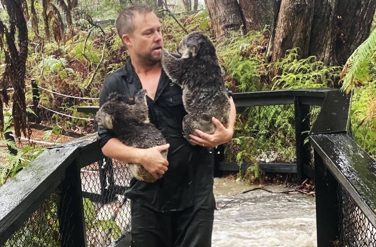 Un trabajador del Parque de Reptiles asutraliano de Somersby, en el sudeste del país, rescata a un koala tras las inundaciones repentinas que se han producido en el país, este viernes.