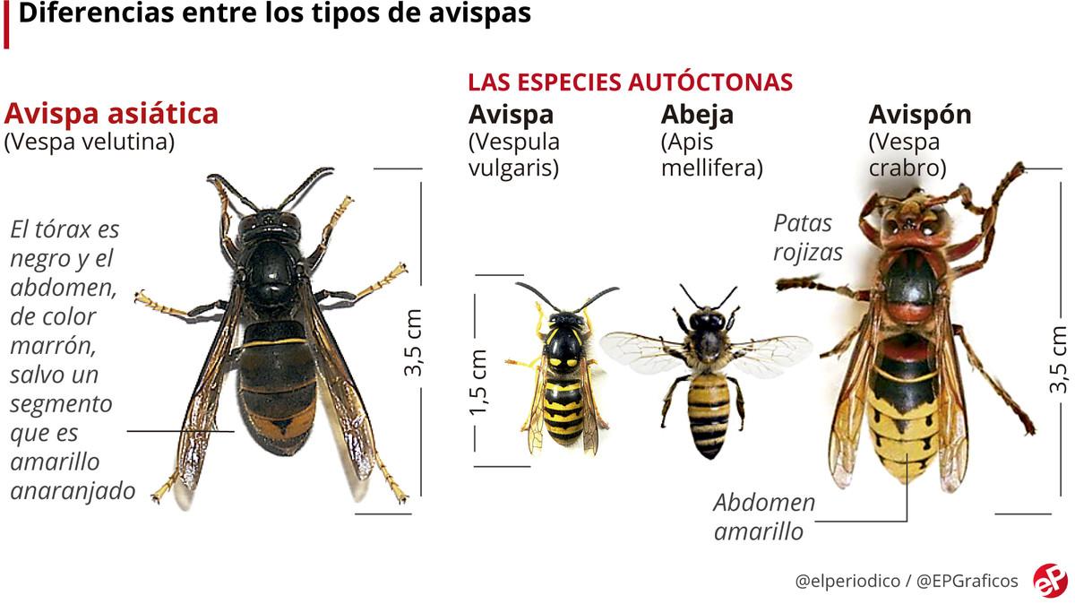 Muere un hombre en Pontevedra atacado por un enjambre de avispas asiáticas