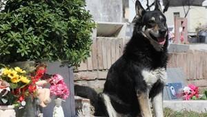Mor Capitán, el gos que va vetllar durant una dècada la tomba del seu amo a l'Argentina