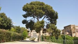 El pino carrasco del parque de Joan Reventós