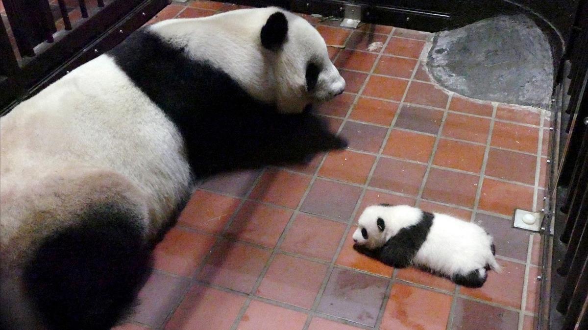La panda gigante Haizi y su bebé