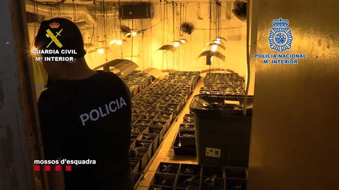 Una família ocultava sota la dutxa una plantació de marihuana a Barcelona | Vídeo