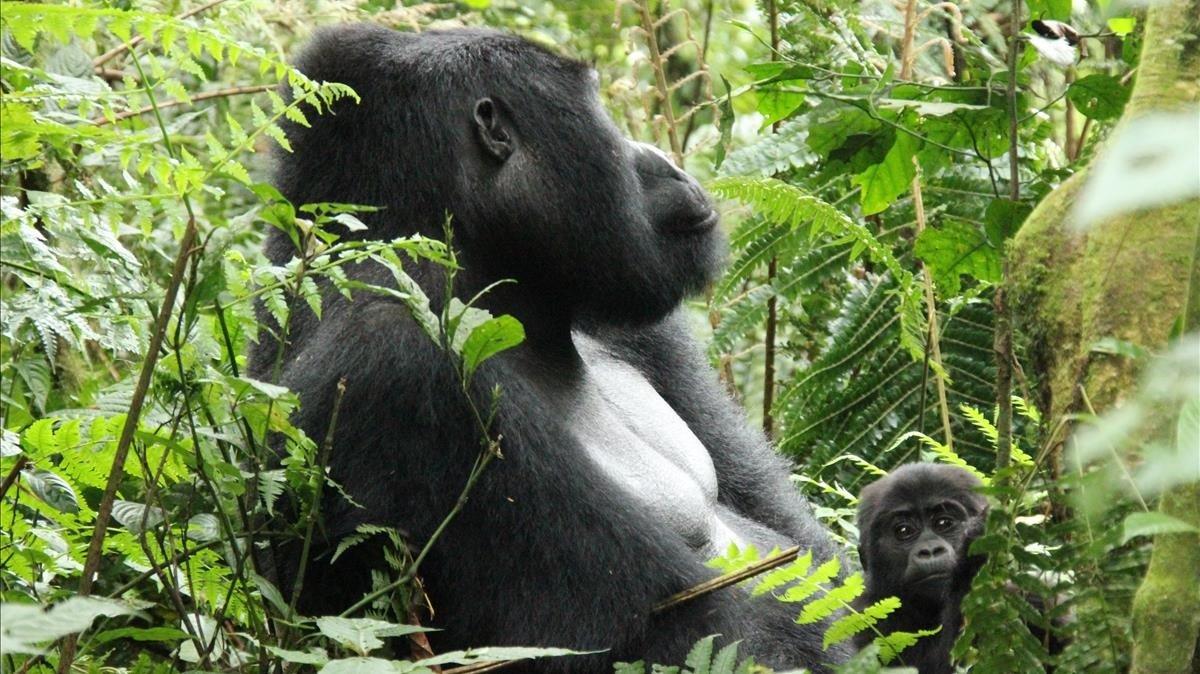 Un macho de espalda plateada con su cría en el parque nacional de Bwindi (Uganda).