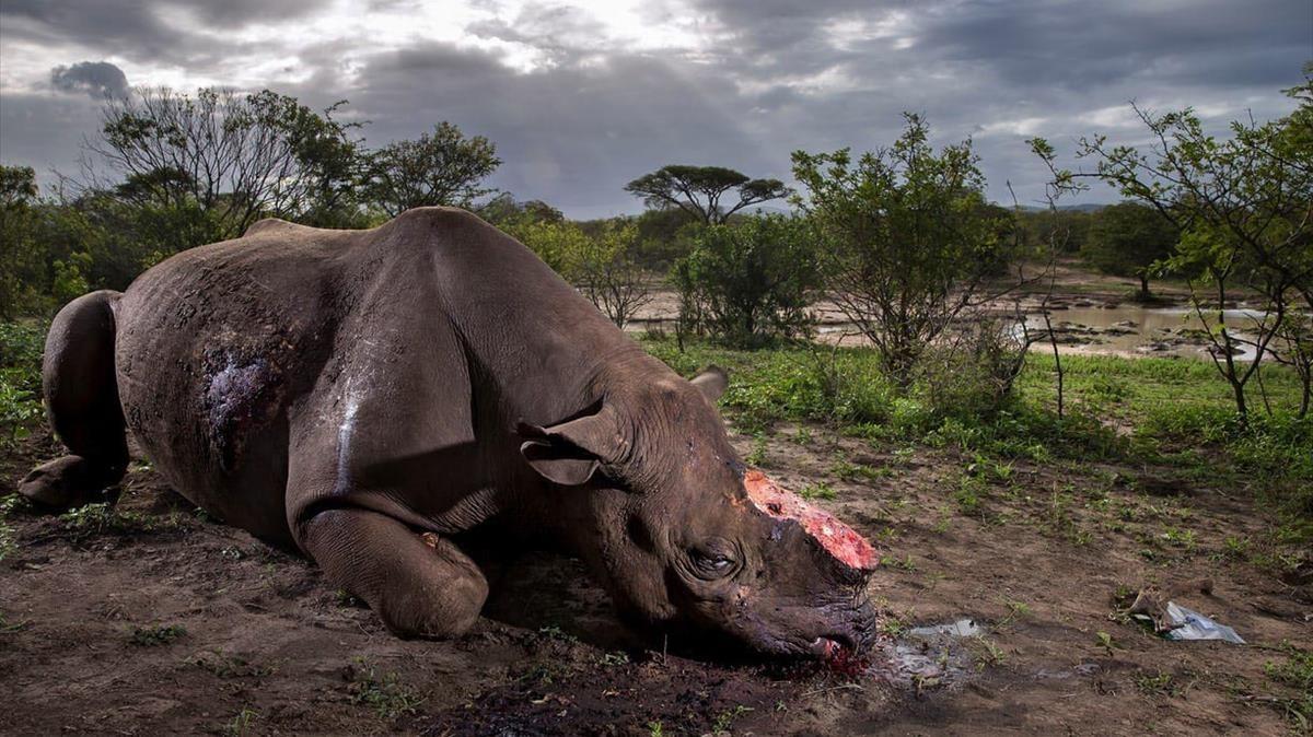 Un rinoceronte yace muerto tras ser abatido por unos furtivos en la reserva deHluhluwe Imfolozi, en Sudáfrica.