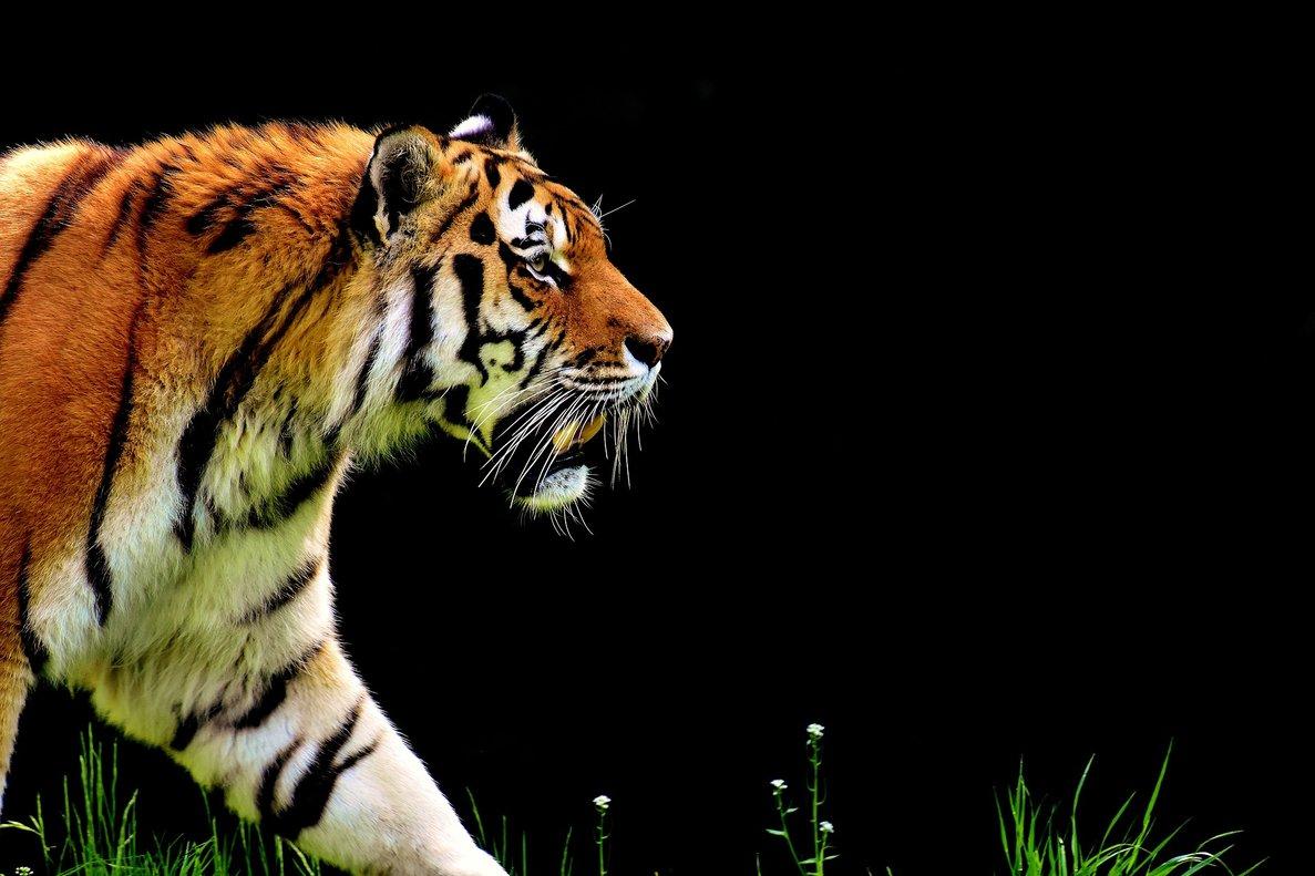 Un motorista se libra in extremis del ataque de un tigre