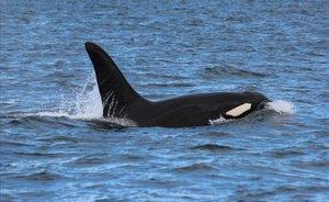 ¿S'estan 'venjant' les orques que danyen velers a la costa gallega?