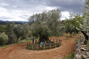 El olivo milenario 'Lo Parot' en Horta de Sant Joan.