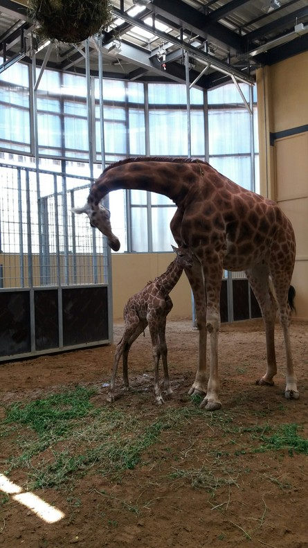 Cría de jirafa nacida en el Zoo de Barcelona