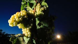 Los viñedos de la vendimia nocturna de Raimat