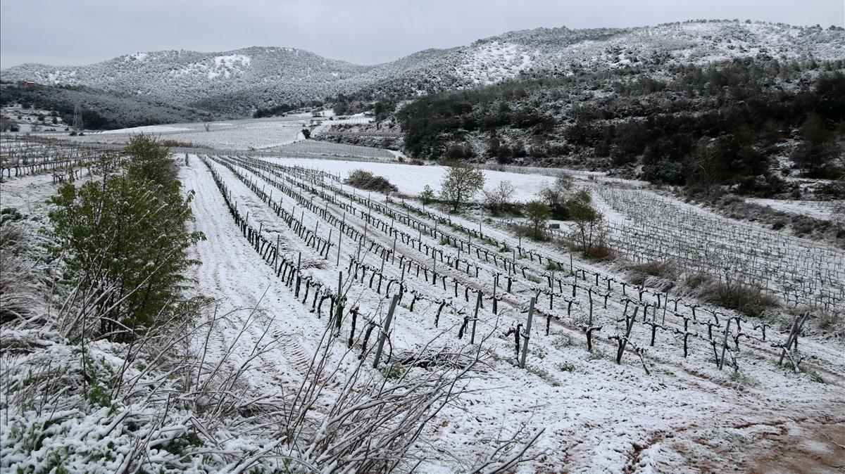 Unos viñedos nevados en Avinyonet del Penedès.
