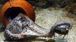 Ejemplar de octopus vulgaris.