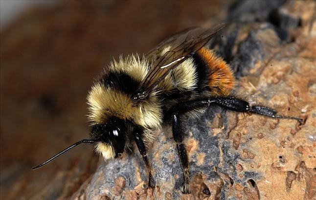 Abella de l'espècie {'Bombus} {cullumanus}', amenaçada d'extinció a Europa.