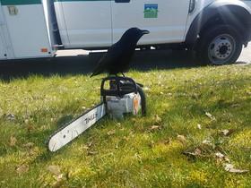 El cuervo canadiense, Canuck, posado sobre una motosierra.