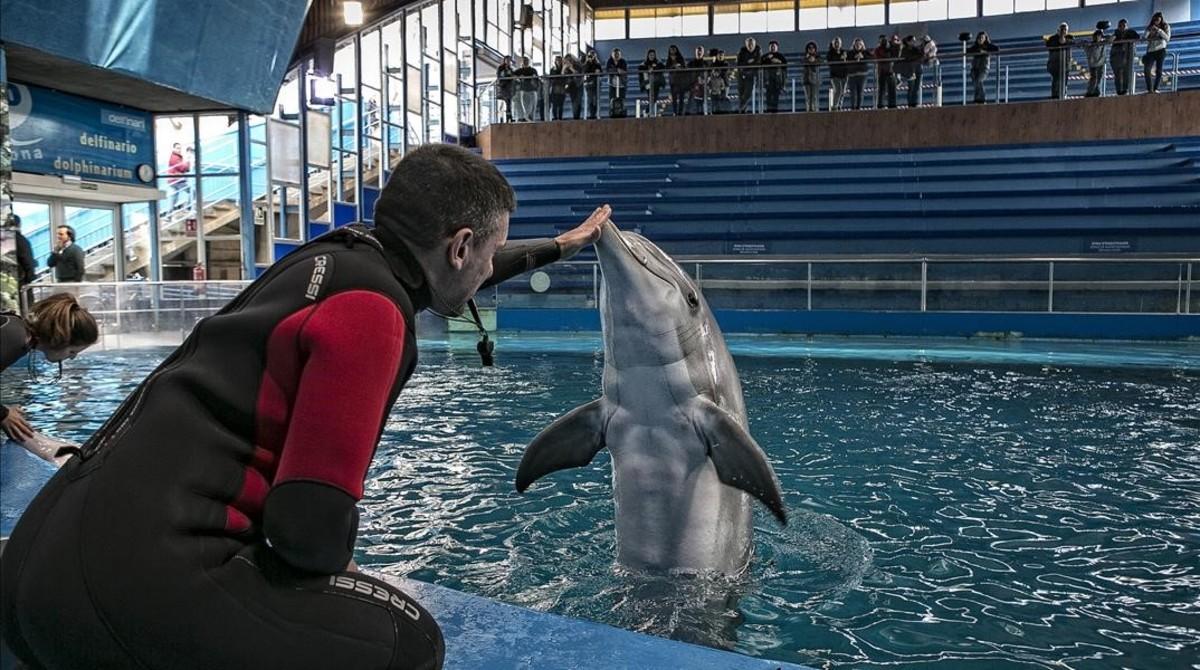 Uno de los delfines del Zoo de Barcleona, en compañía de uncuidador.