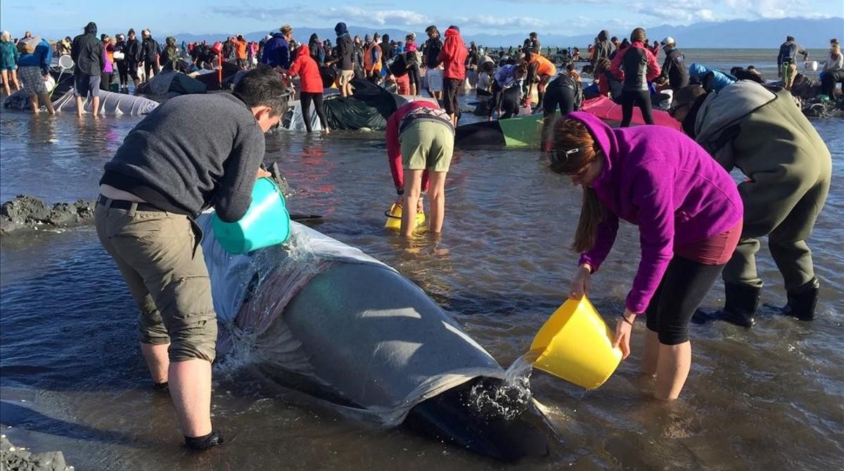 Voluntarios, en la bahía de Nueva Zelanda donde han quedado varadas las ballenas.