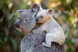 Una madre koala y su cría.