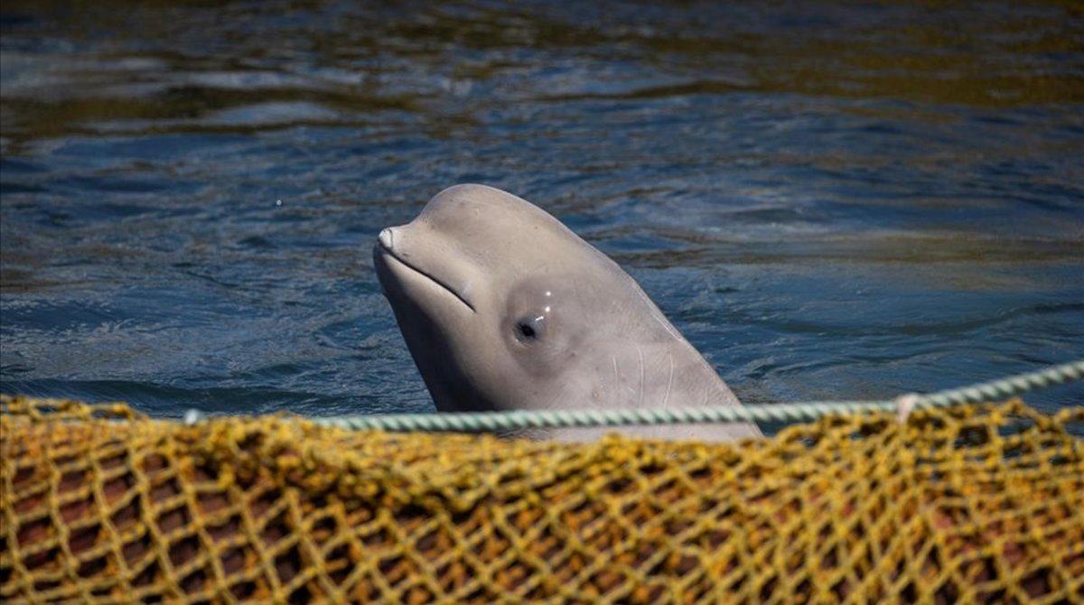 Una de las ballenas en cautividad.