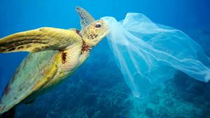 Una tortuga marina topa con una bolsa de plástico.