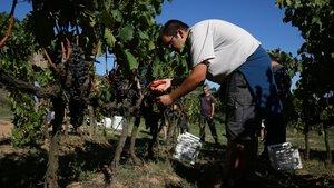 Vendimia en la masía de Can Calopa de Dalt, en Collserola, donde se cultiva el vino de Barcelona.