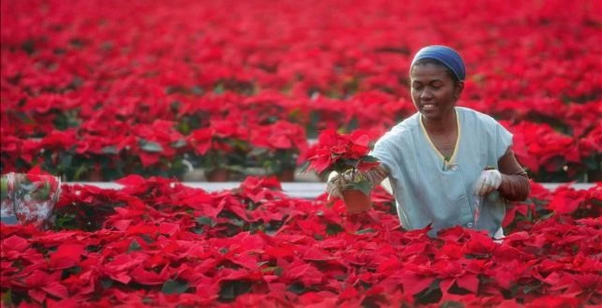 Una trabajadora, en un invernadero de poinsettias en Premià de Dalt (Maresme).