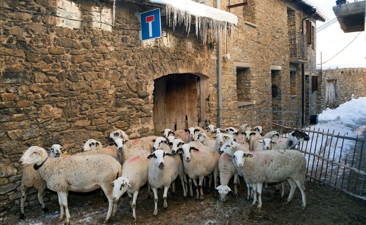 Un rebaño de ovejas, en el pueblo de Llessui, en el Pallars Sobirà, la comarca con menos densidad de poblaciónde Catalunya, con 5 habitantes por quilómetro cuadrado, según datos de Idescat del 2019.