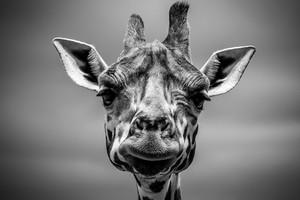 giraffe-2591608 960 720