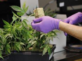 Las leyes de California sobre la comercialización de marihuana recreativa afecta a otras ciudades.