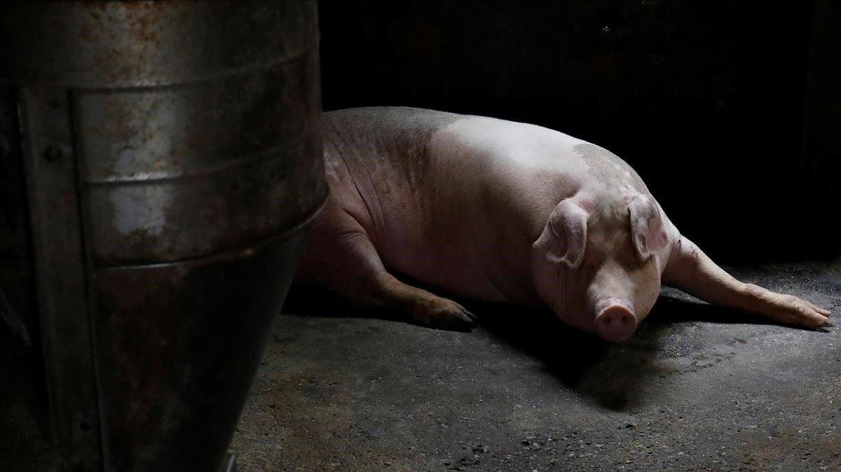 Cría cerdos del tamaño de osos polares y los vende en $1,400